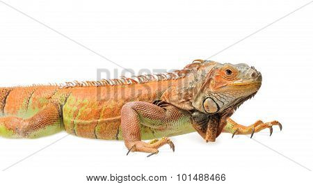 Orange Green Iguana Isolated On White Background