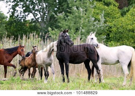 Purebred Arabian Mares And Foals On Natural Environment