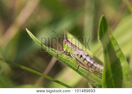 Female Meadow Grasshopper (chortippus Parallelus) Sitting On A Leaf