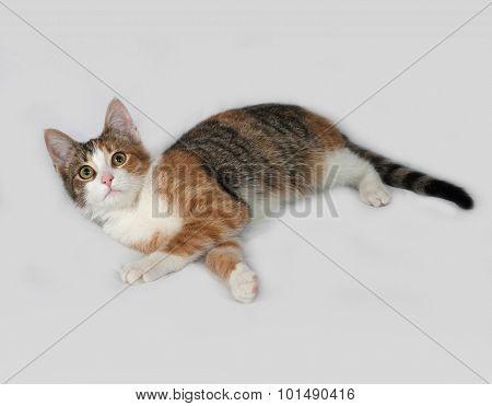 Tricolor Kitten Lies On Gray