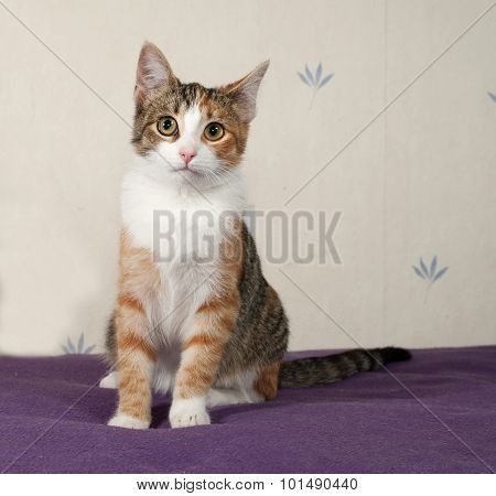Tricolor Kitten Sitting On Bed