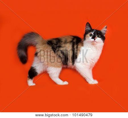 Tricolor Fluffy Kitten Standing On Orange