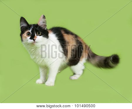 Tricolor Fluffy Kitten Standing On Green