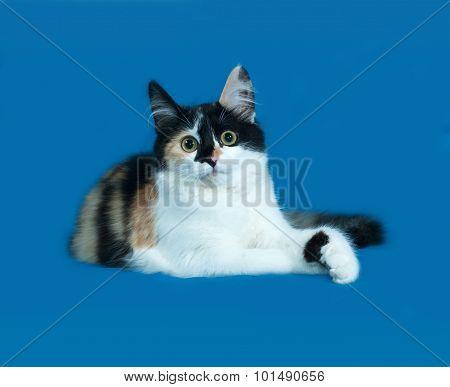 Tricolor Fluffy Kitten Lies On Blue