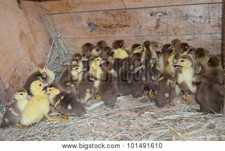 Ducklings Of A Musky Duck