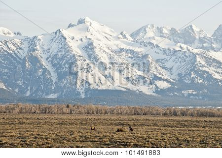 Tetons And Wildlife Grazing