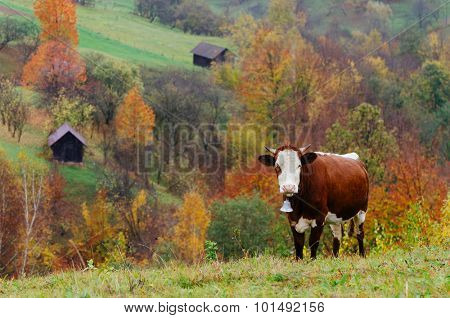 Autumn time in the mountain village. A brown cow with a metal bell on the neck