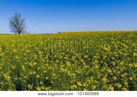 Field of Beautiful Bright Yellow Flowering Canola (Rapeseed) Plants Growing on a Farm