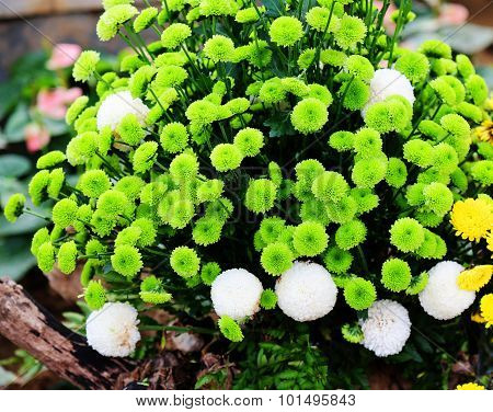 A Clump of Beautiful Green Chrysanthemum