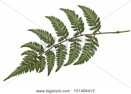 Metallicum Fern