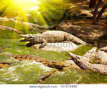 Crocodiles in the river. Den of crocodiles in the national Zoo. Large crocodiles resting on the rocks and swimming in the water. Crocodile farm. Wild alligators. Crocodile farm. Predators