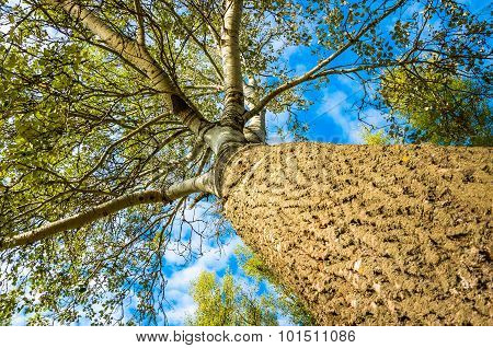 Trunk And Branches Of A Poplar Tree