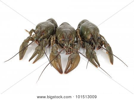 Three crayfishes. Isolated on a white background