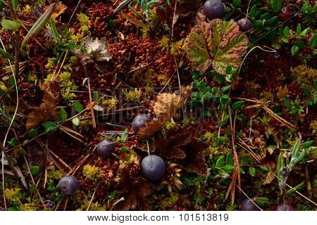 Autumn Cranberries On Red Yellow Moss In The Swamp Yellowing Leaves