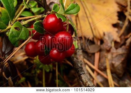 Bunch Of Red Ripe Cranberries Berries On A Background Of The Fallen Yellow Leaves