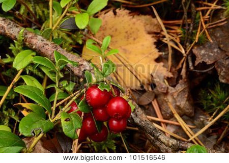 Lingonberry Red Berries On A Branch On A Background Of Yellow Fallen Leaves