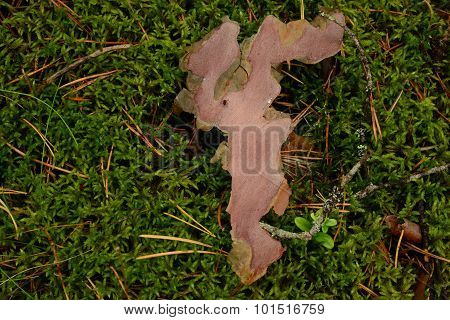 Natural Background Of Autumn Forest Cover Of Moss And Pine Bark With An Ant On It