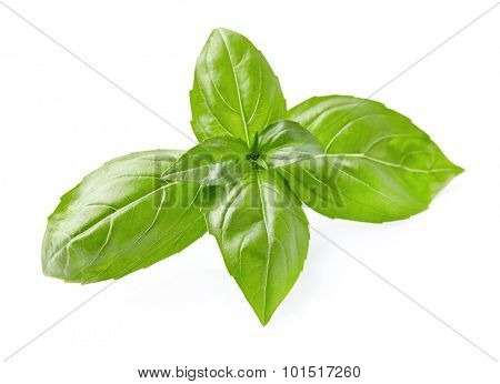 Basil leaves on a white background