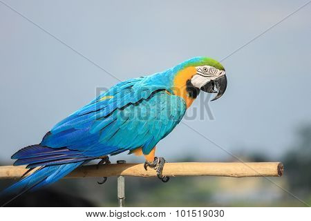 Parrots, Macaws Branches Stand On A Blue Background.