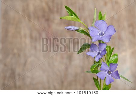 Beautiful Blue Flowers Periwinkle On Wooden Background