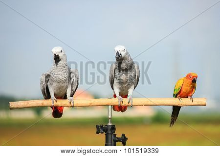 Close Up Of African Grey Parrot With Out Of Focus Foliage Background