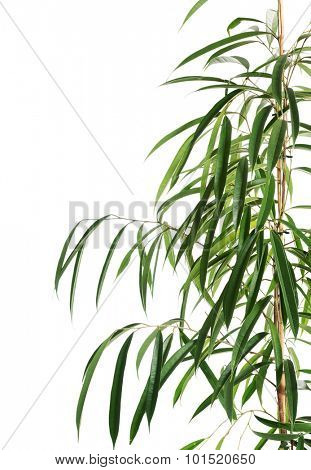 Close up on dracaena leaves.