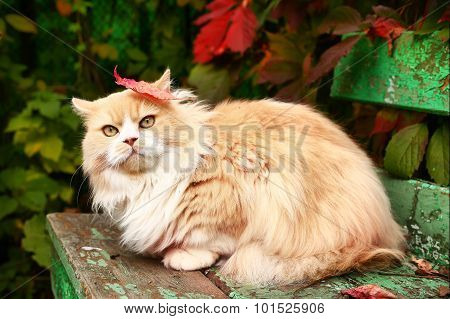 Persian Cat On The Autumn Background