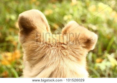 Dogs Ears Alert To Hear Autumn Nature Sounds