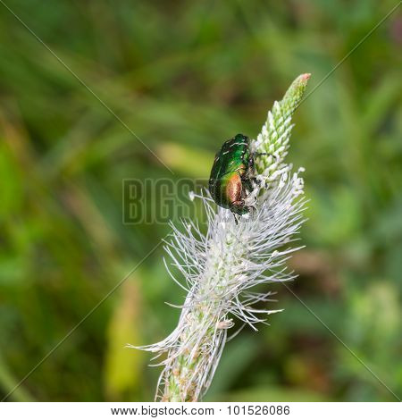 Cetonia aurata beetle having lunch on a wild plant