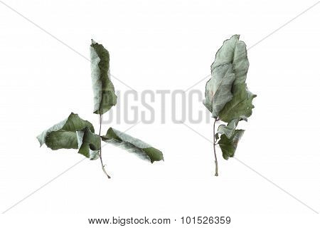 Green Dry Leaf Rose Flower Isolated On White Background