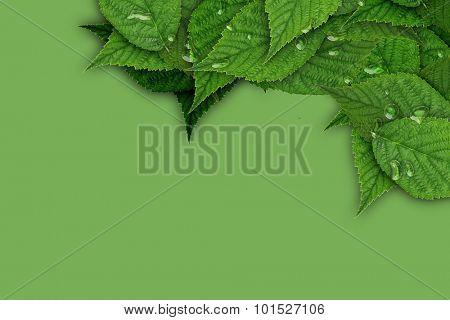 green raspberry leaf  background