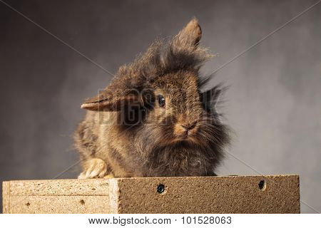 Cute brown lion head rabbit bunny sitting on a wood box holding one ear up.