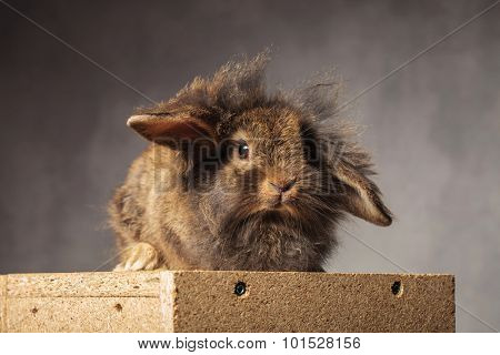 Picture of a furry brown lion head bunny sitting on a woodbox.
