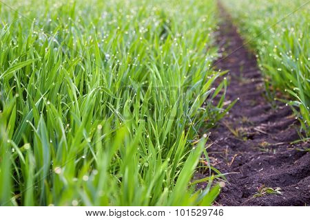 Fresh Grass with drops of dew and ground way to the horizon, ecology background