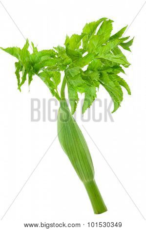 young leaves of angelica