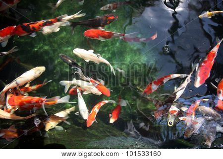 Abstract images of Koi Fish swimming in water. Koi fish are loved around the world for their beautiful colors and patterns. Goldfish are part of the Koi Fish family and like to swim along side