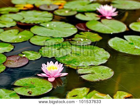Purple Water Lilly