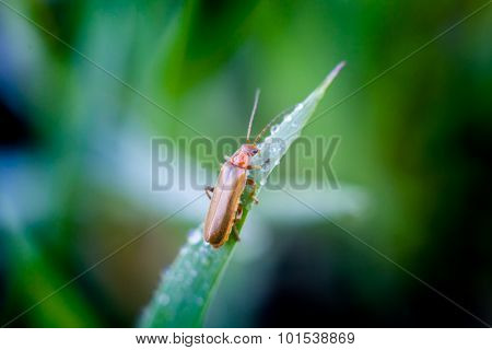 Beetle on a stem of grass with dew drops
