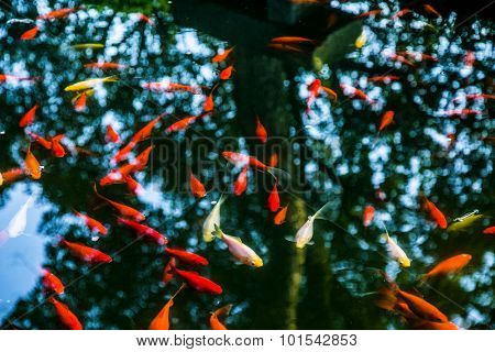 red goldfish in the pond