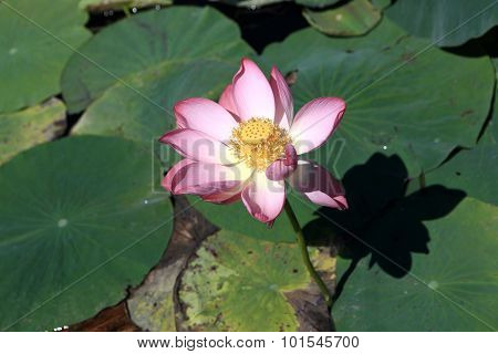 View Of Indian Lotus Flower