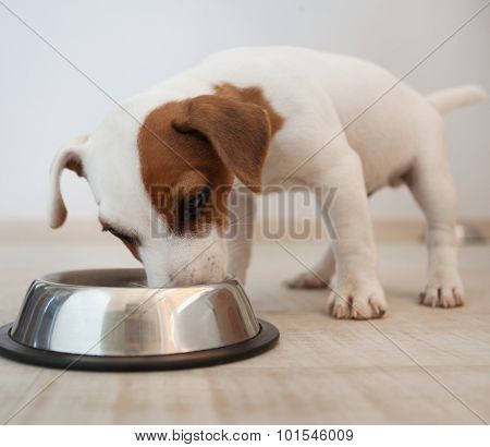 Puppy eating food. Dog
