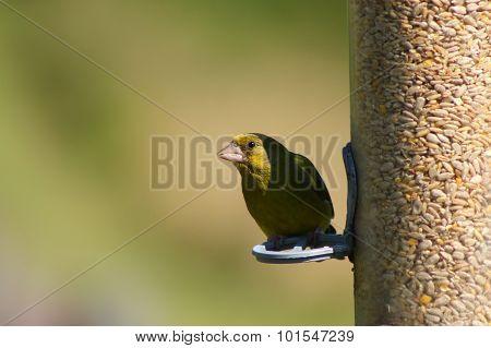 Greenfinch on a feeder