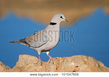 Cape turtle dove (Streptopelia capicola) perched on a rock, Kalahari, South Africa