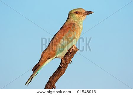 European roller (Coracias garrulus) perched on a branch against a blue sky, South Africa