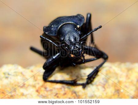 Beetle - Carabus Coriaceus