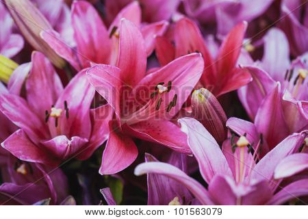 pink lilies in the summer garden