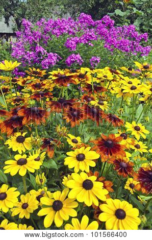 Rudbeckia And Phlox Flowering In Country Garden