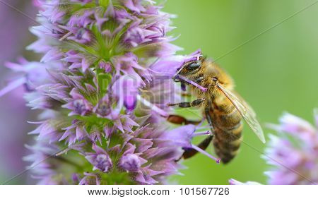 Bee Pollinating Prunella Flower
