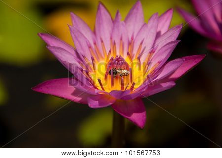 Lotus Flower With Bee