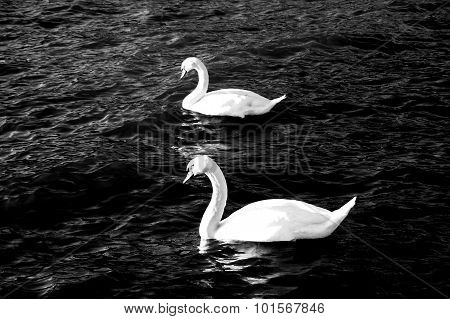 Picture of a Swan in a Lke Ohrid Macedonia